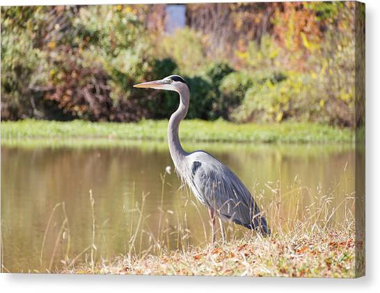 Majestic Great Blue Heron In Autumn Canvas Print