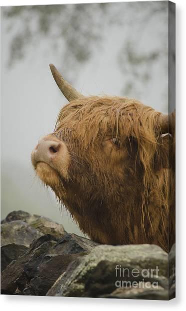 Majestic Highland Cow Canvas Print
