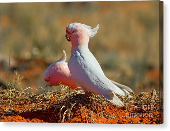 Cockatoo Canvas Print - Major Mitchel Cockatoo by Bill  Robinson