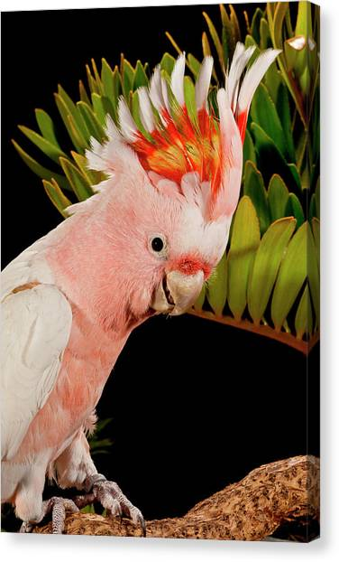 Cockatoo Canvas Print - Major Mitchell's Cockatoo, Lophochroa by David Northcott