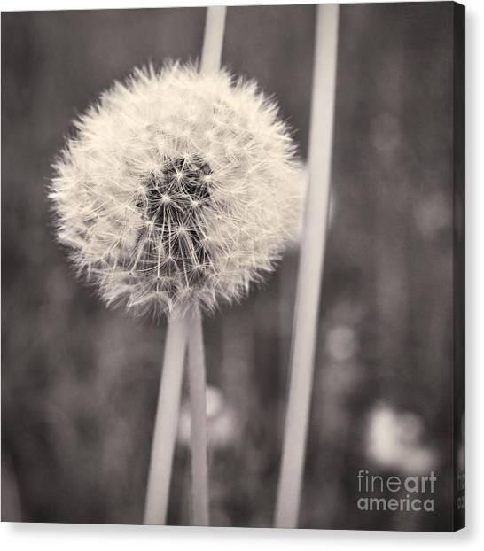 Dandelion Clocks Canvas Print - make a wish II by Priska Wettstein