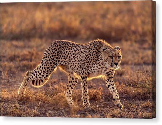 Cheetahs Canvas Print - Making The Moment by Hani Almarhoun