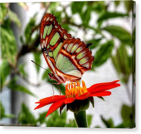 Malachite Butterfly On A Mexican Coneflower Canvas Print