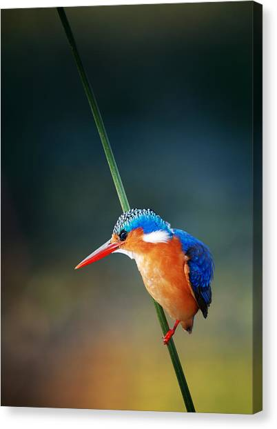 Perching Birds Canvas Print - Malachite Kingfisher by Johan Swanepoel