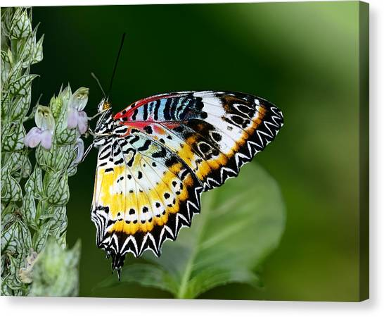 Malay Lacewing Butterfly Canvas Print
