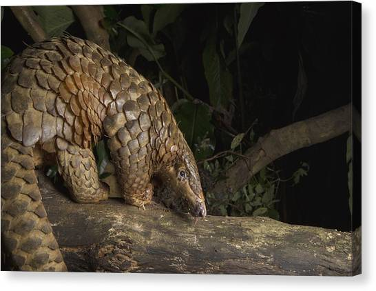 Animal Behaviour Canvas Print - Malayan Pangolin Eating Ants Vietnam by Suzi Eszterhas