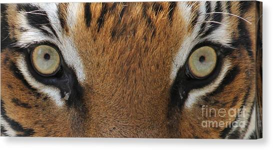 Malayan Tiger Eyes Canvas Print