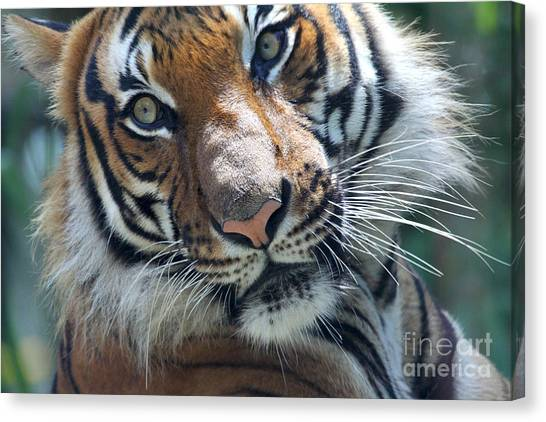 Malayan Tiger Canvas Print