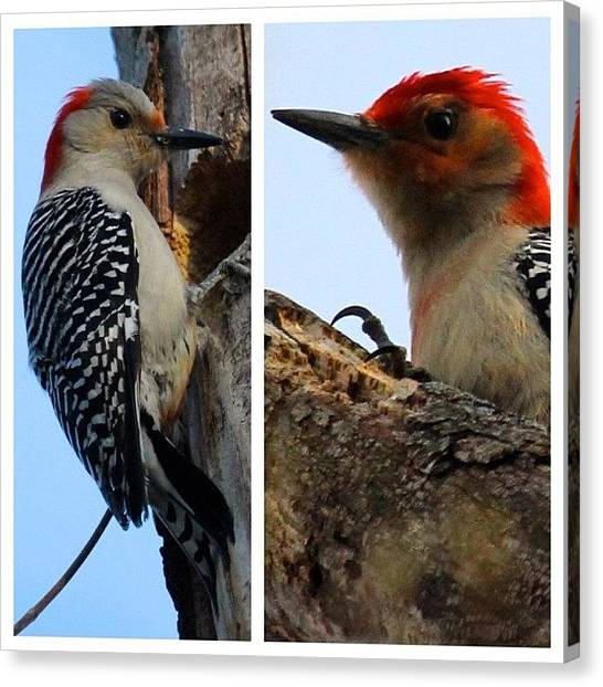 Woodpeckers Canvas Print - Male & Female Woodpeckers #longisland by Lisa Thomas
