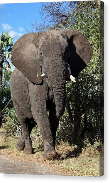 Victoria Falls Canvas Print - Male African Elephant by Steve Allen/science Photo Library