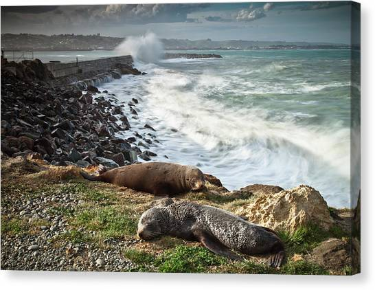 Male And Femal New Zealand Fur Seal Canvas Print