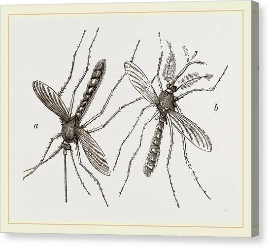 Gnats Canvas Print - Male And Female Gnats by Litz Collection