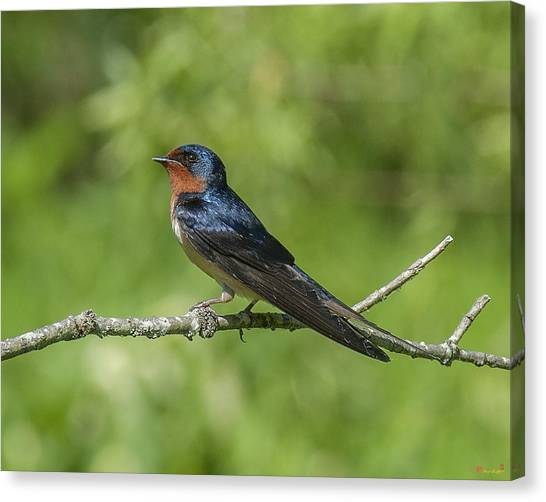 Male Barn Swallow Hirundo Rustica Dsb262 Canvas Print