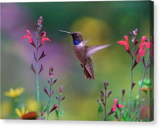 Chin Canvas Print - Male Black-chinned Hummingbird by Tim Fitzharris