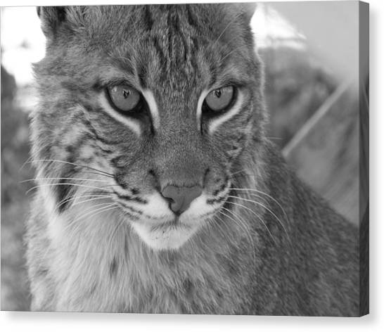 Male Bobcat - Black And White Canvas Print by Jennifer  King