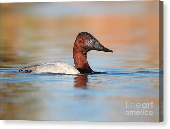 Male Canvasback Canvas Print