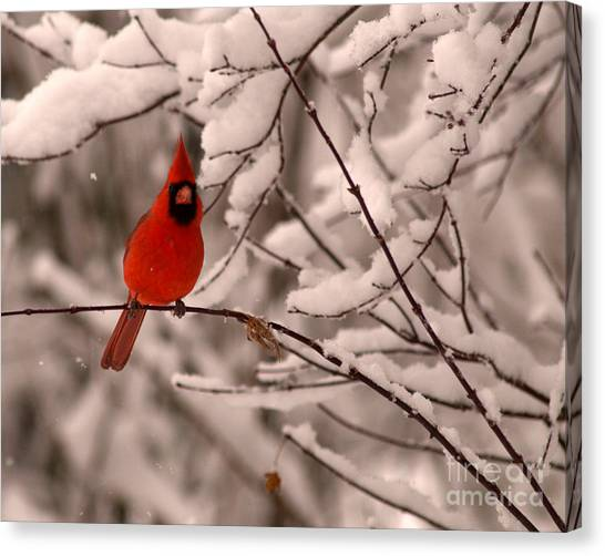 Male Cardinal In Snow Canvas Print