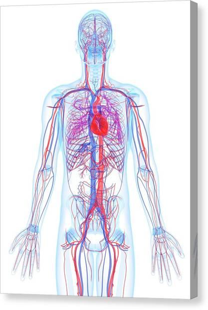 Male Cardiovascular System, Artwork Canvas Print by Sciepro
