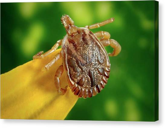 Ticks Canvas Print - Male Cayenne Tick by Cdc/science Photo Library