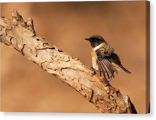 Flycatchers Canvas Print - Male European Stonechat by Photostock-israel