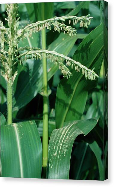 Male Flowers Of The Maize Plant Canvas Print by Dr Jeremy Burgess/science Photo Library