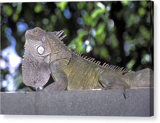 Iguanas Canvas Print - Male Green Iguana by Clay Coleman/science Photo Library