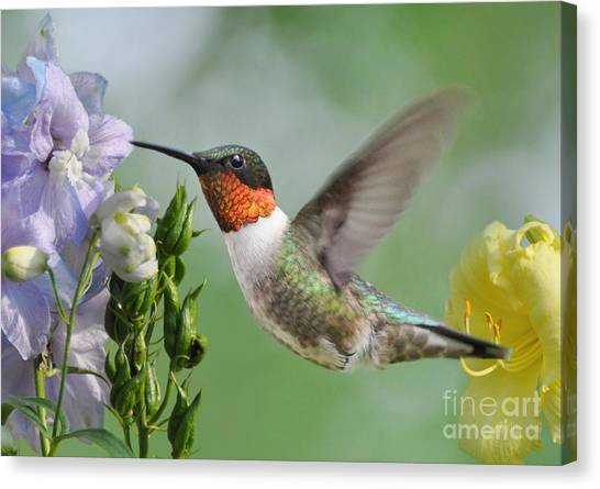 Male Hummingbird Canvas Print
