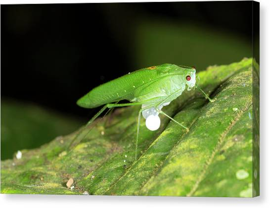 Crickets Canvas Print - Male Katydid Producing A Spermatophore by Dr Morley Read