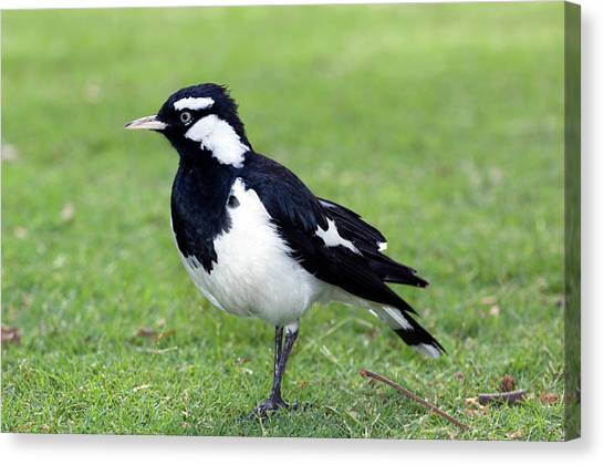 Magpies Canvas Print - Male Magpie-lark by Tony Camacho/science Photo Library
