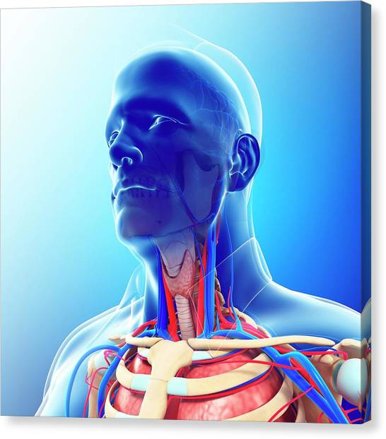 Male Neck Blood Vessels Canvas Print by Pixologicstudio/science Photo Library