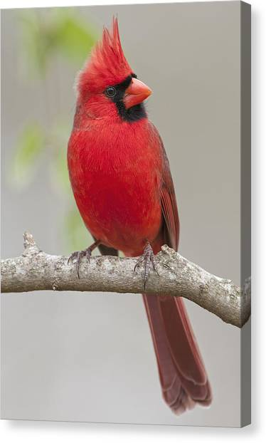 Avian Canvas Print - Male Northern Cardinal In January by Bonnie Barry