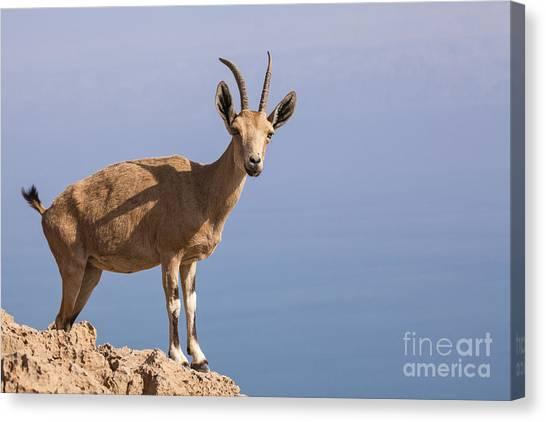Negev Desert Canvas Print - Male Nubian Ibex 1 by Eyal Bartov