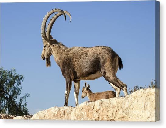 Negev Desert Canvas Print - Male Nubian Ibex by Eyal Bartov