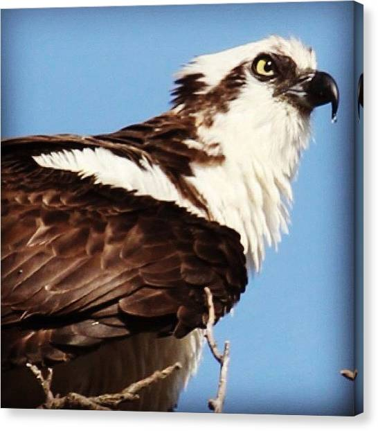 Osprey Canvas Print - Male Osprey #osprey #longisland #spring by Lisa Thomas