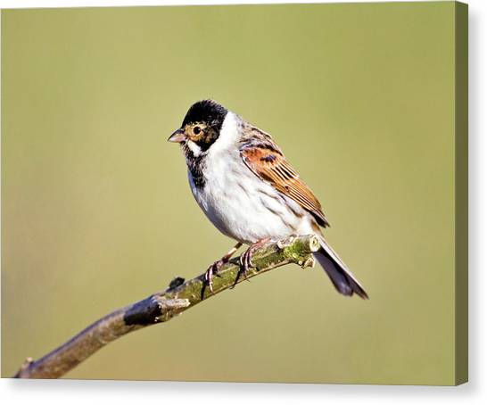 Buntings Canvas Print - Male Reed Bunting by John Devries/science Photo Library