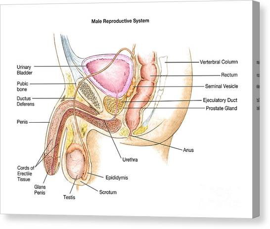 Erectile canvas prints page 3 of 3 fine art america erectile canvas print male reproductive system by spencer sutton ccuart Choice Image