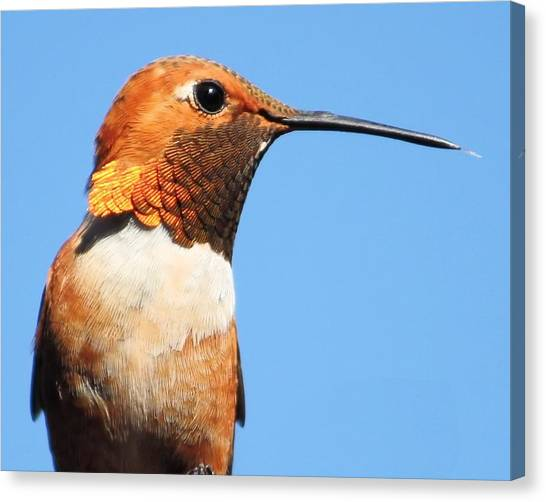 Male Rufous Canvas Print