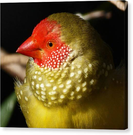 Male Star Finch Canvas Print