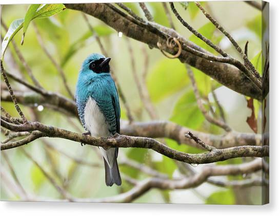 Iguazu Falls Canvas Print - Male Swallow Tanager In A Tree by Dr P. Marazzi/science Photo Library