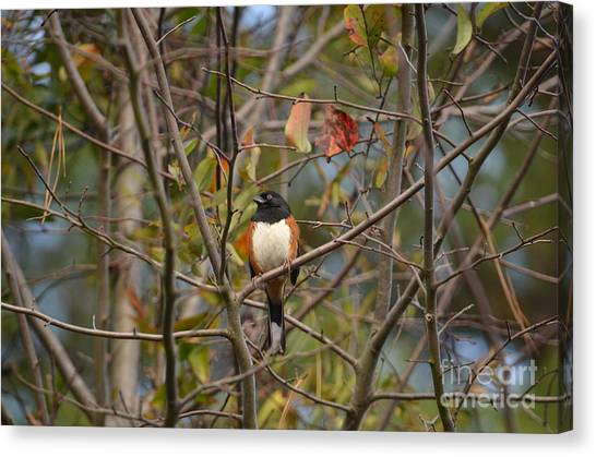 Brown Towhee Canvas Print - Male Towhee by Kathy Gibbons