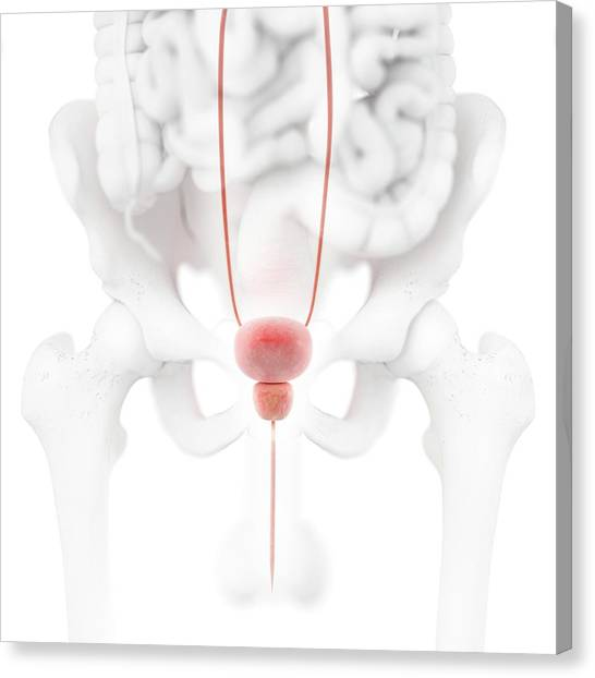 Groin Canvas Print - Male Urinary System by Springer Medizin