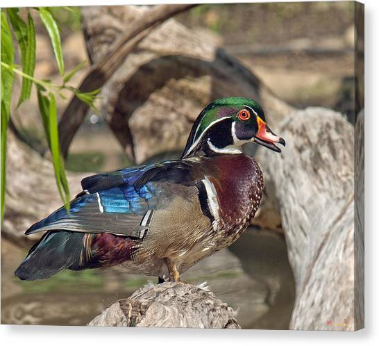 Male Wood Duck Dwf029 Canvas Print