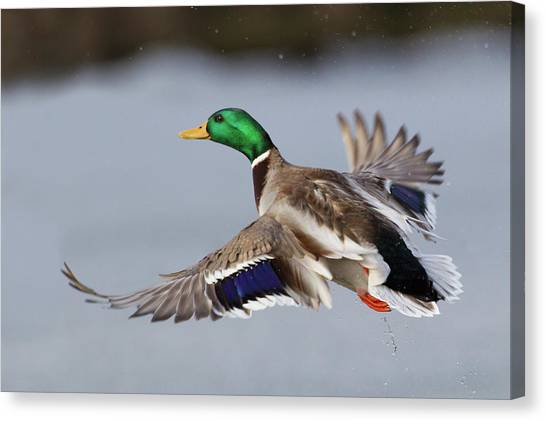 Mallard Drake Taking Flight Canvas Print by Ken Archer