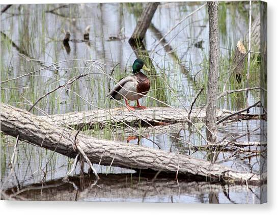Canvas Print - Mallard Duck On Log by Lori Tordsen