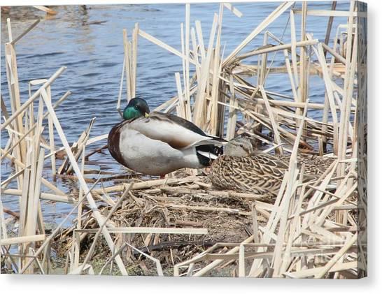 Canvas Print - Mallard Ducks Resting by Lori Tordsen