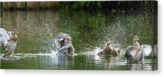 Mallard Ducks Canvas Print by Steve Allen/science Photo Library