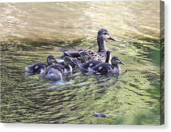 Mallard Family On Green Water Canvas Print