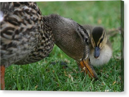 Mallard Hen And Duckling Canvas Print
