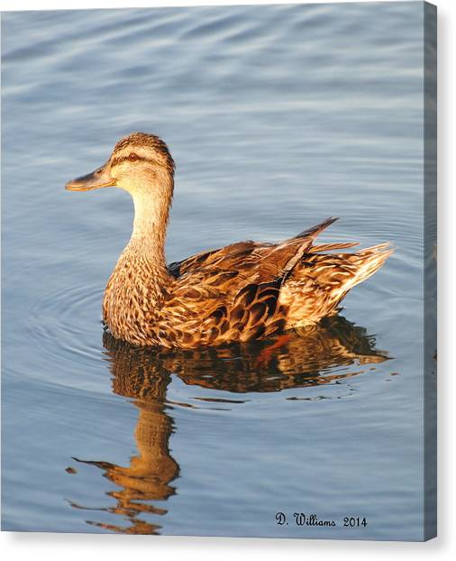 Mallard Hen Profile Canvas Print