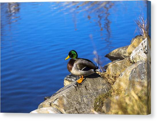 Mallard Looking Over His Domain Canvas Print
